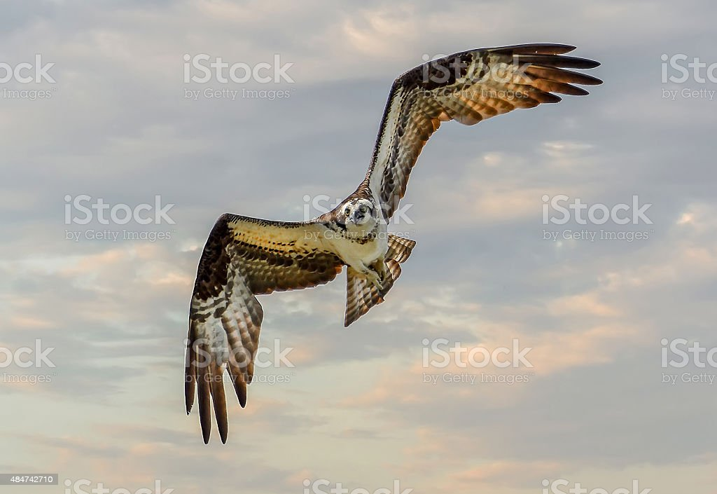 Osprey Flying stock photo