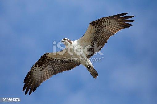 Osprey Flying through the sky