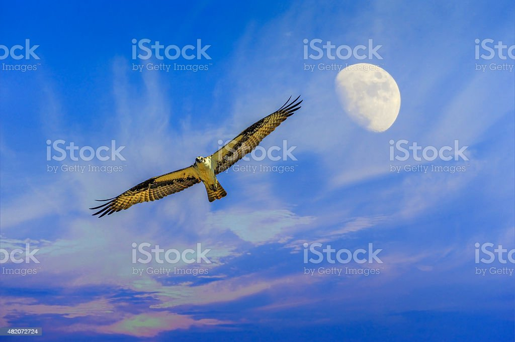 Osprey flying with moon stock photo