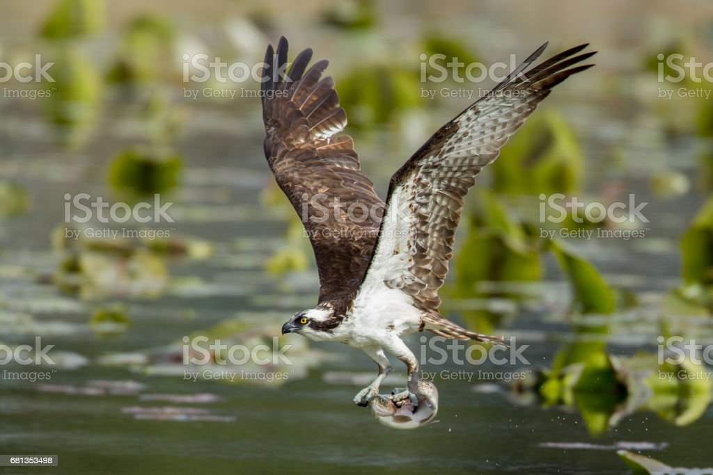 Osprey has fish in claws. stock photo