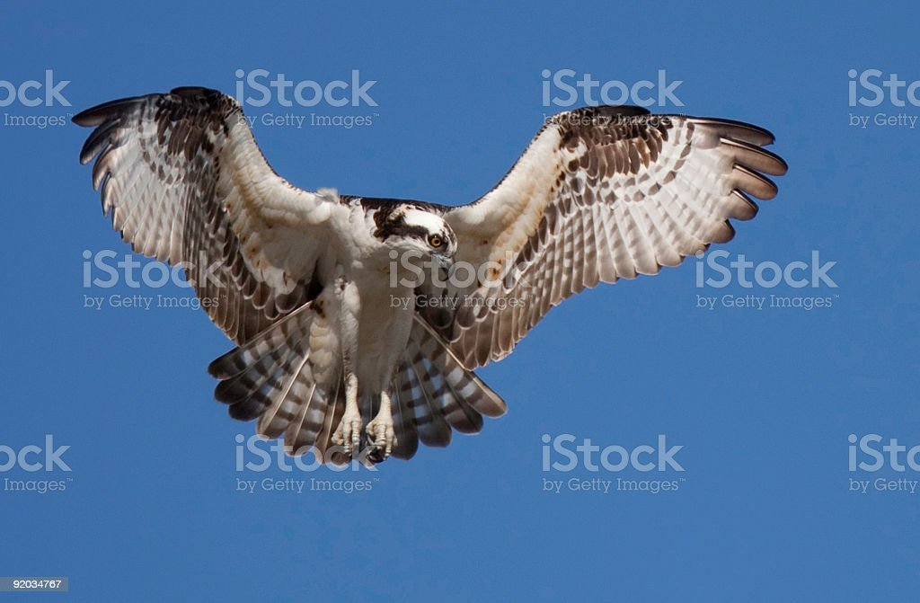 Osprey hovering against a clear blue sky royalty-free stock photo