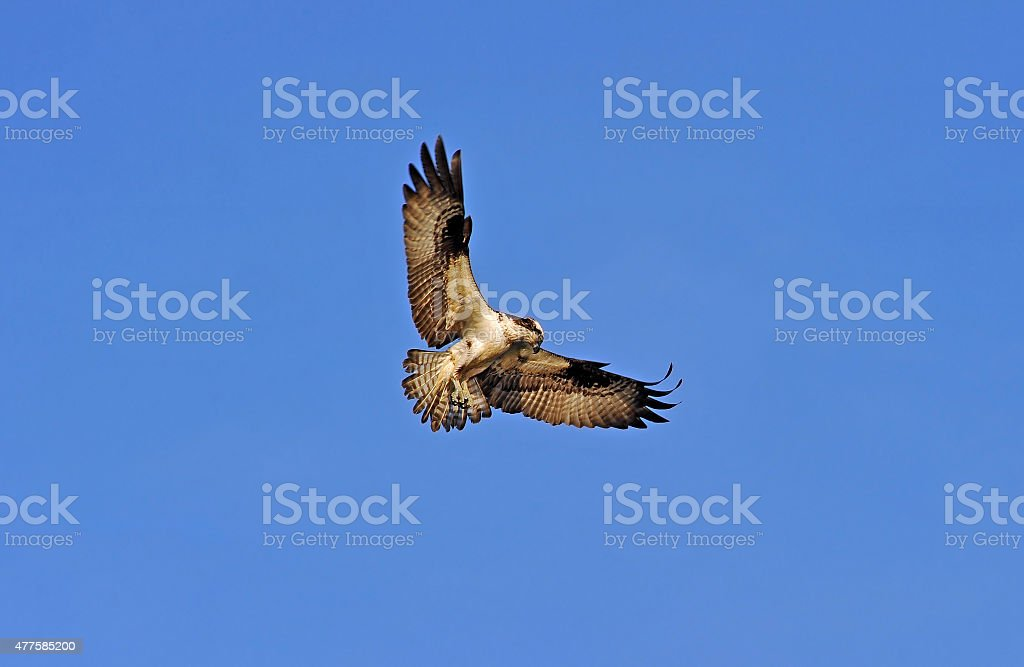 Osprey hovering in blue sky stock photo