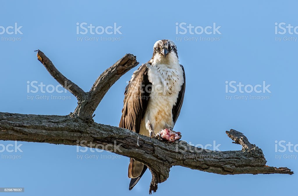Osprey in a tree with a Rockfish over the Chesapeake Bay stock photo
