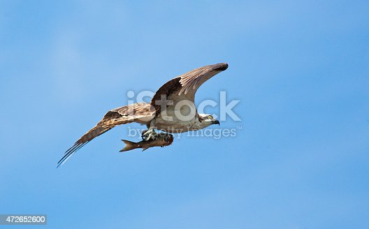 Everglades National Park of Florida, USA. Bird of prey Osprey hunting with its fish catch flying over the swamp wetland lake. Numerous wildlife and birds are common residents of the Everglades of Florida, a popular vacation and travel destination for nature and adventure travels. Photographed in horizontal format with copy space.