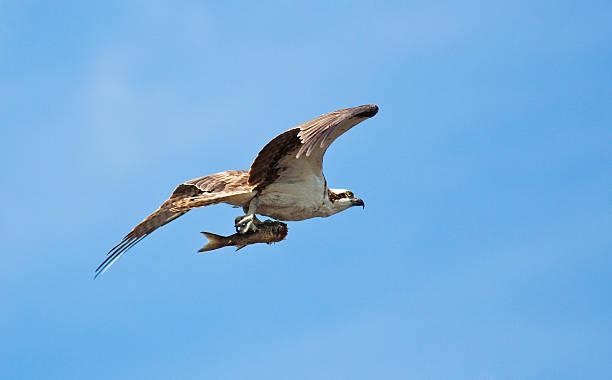 물수리 in 에버글레이즈 국립 공원의 항공편 고기잡이 catch - 육식조 뉴스 사진 이미지
