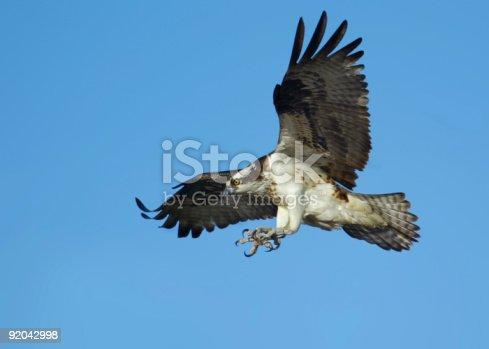 istock Osprey in flight 92042998