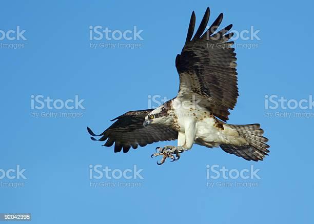Osprey in flight picture id92042998?b=1&k=6&m=92042998&s=612x612&h=jxznyd1vmjatwq6qunxjafbrrwmtgfzlzygikdwrfka=
