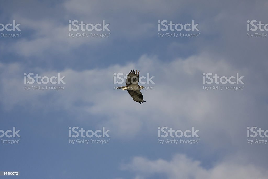 Osprey in Flight royalty-free stock photo