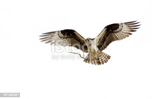 Osprey in flight with a nesting stick in talons, white background