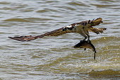 An osprey taking off for flight with a fish in its talons over the James River near Newport News, Virginia.