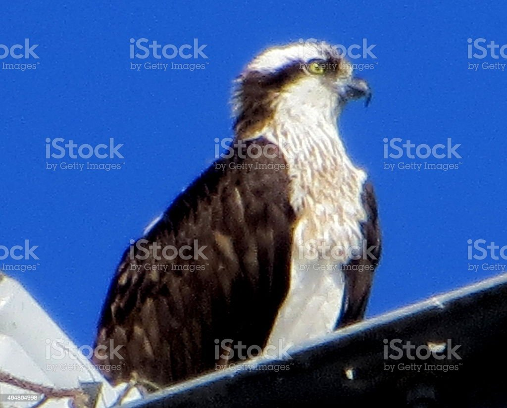 Osprey in Winter Feb 20 2015 stock photo