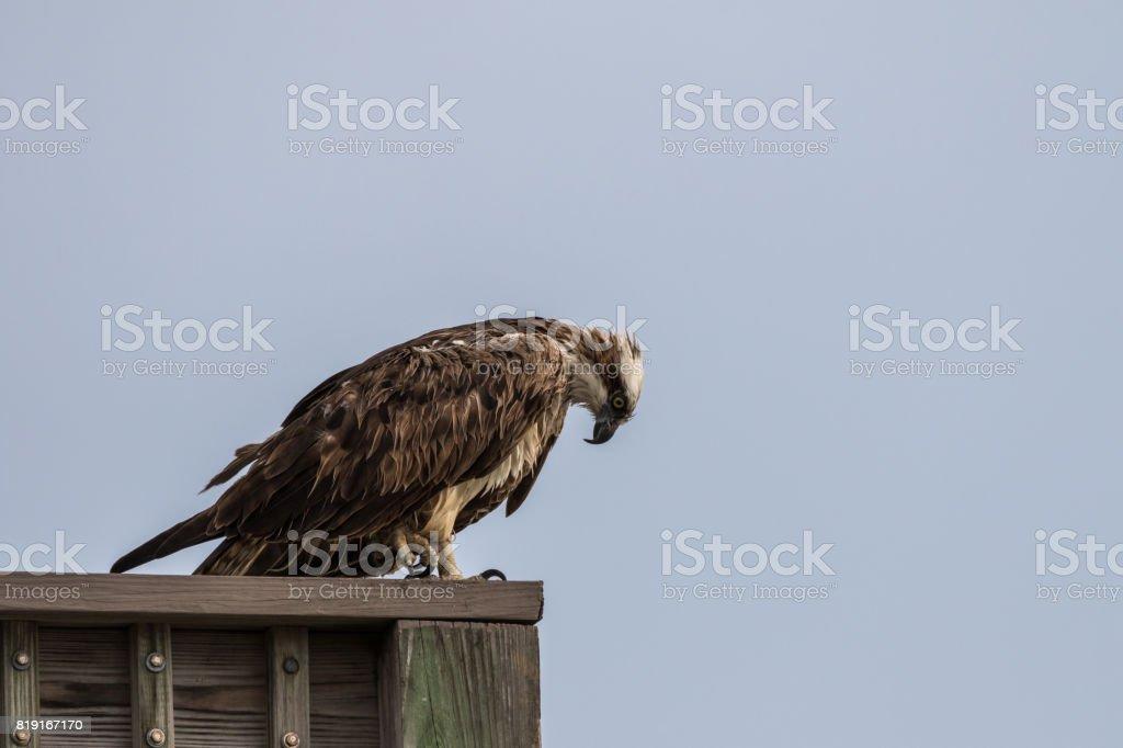 Osprey, J.N. ''Ding'' Darling National Wildlife Refuge, Sanibel Island, Florida, USA stock photo