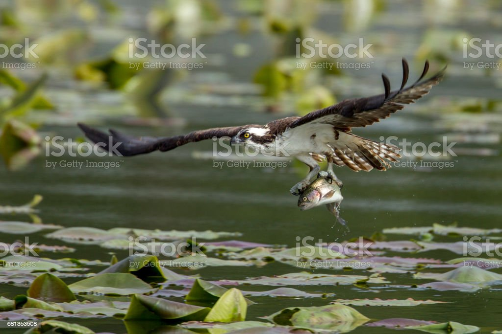 Osprey just caught a fish. stock photo