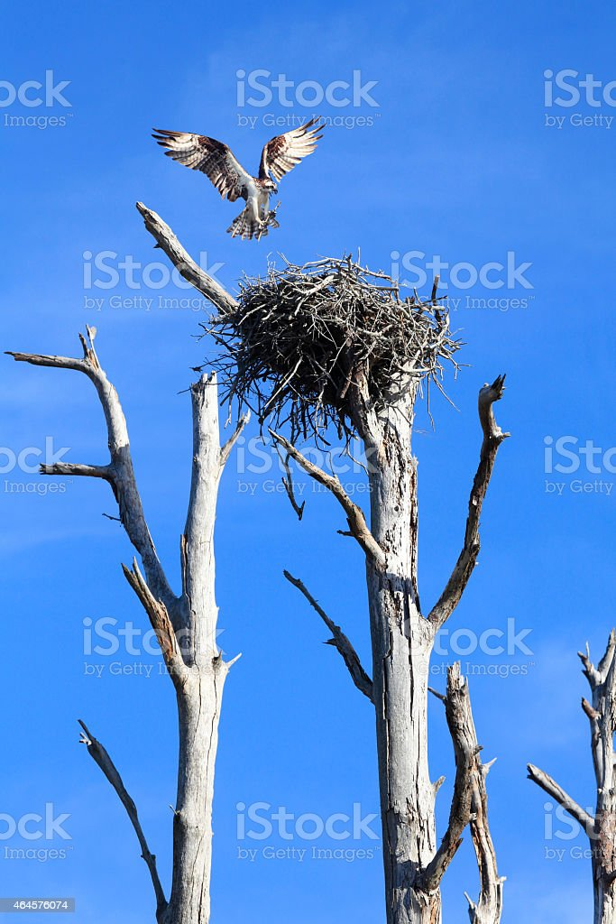Osprey Landing on It's NestWith Building Material stock photo