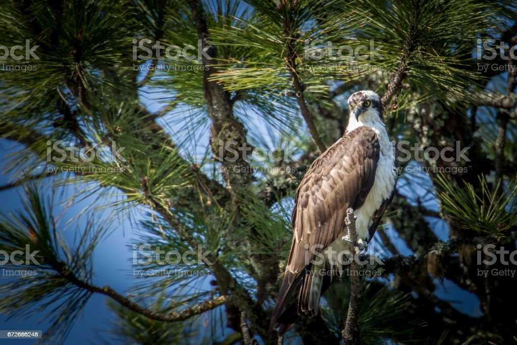 Osprey looks for fish from tree. stock photo