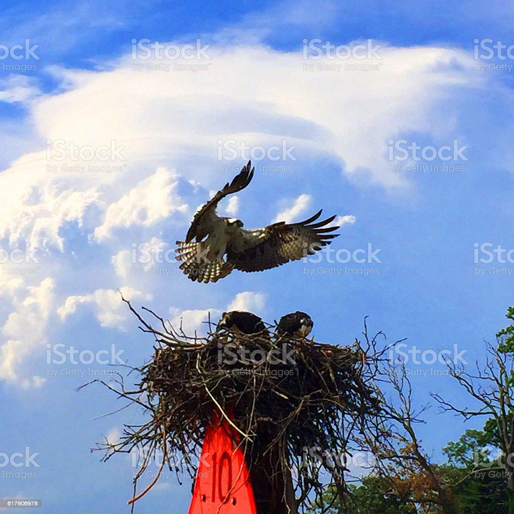 Osprey Nest on the Chesapeake Bay stock photo