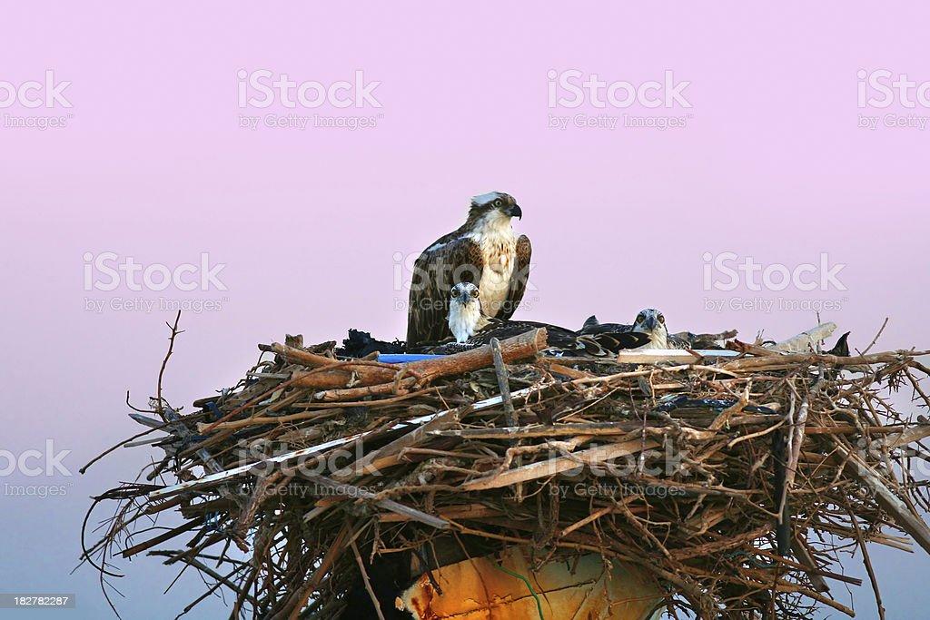 osprey nest with children stock photo
