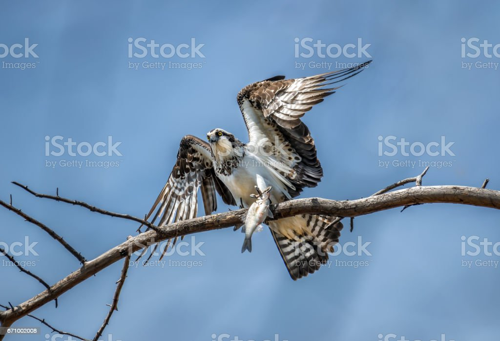 Osprey on a tree branch holding a freshly caught fish. stock photo