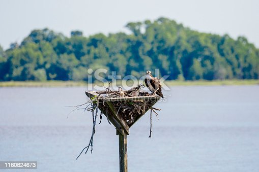 Osprey adult and two baby Osprey's on nest.