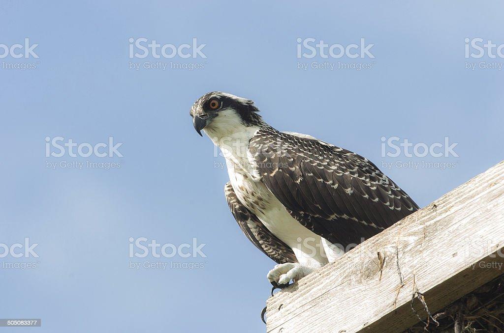 Osprey on Platform stock photo