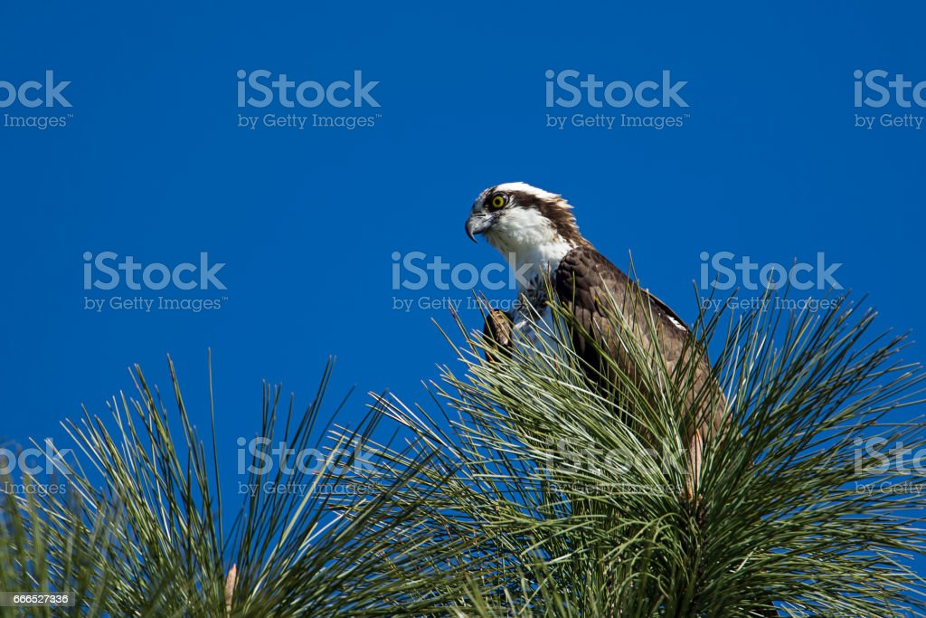 Osprey perched in the tree. stock photo