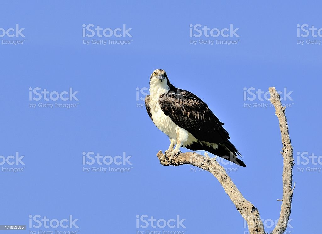 Osprey perched royalty-free stock photo