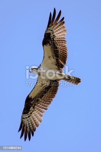 Osprey, aka Seahawk or fish hawk, in flight against a blue sky.