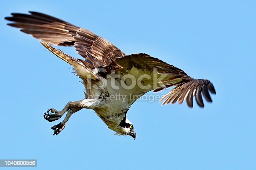 Juvenile osprey near nest in Wisconsin.