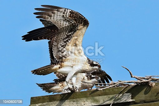 Juvenile osprey near nest in Wisconsin.