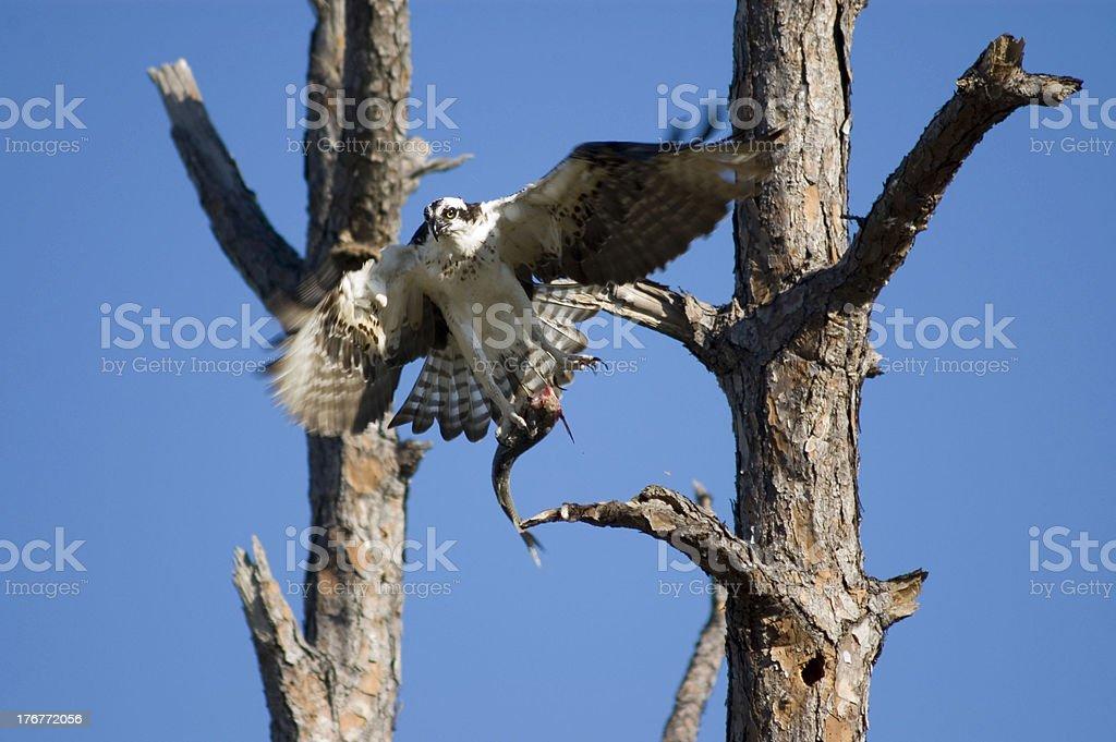 FLYING Osprey royalty-free stock photo
