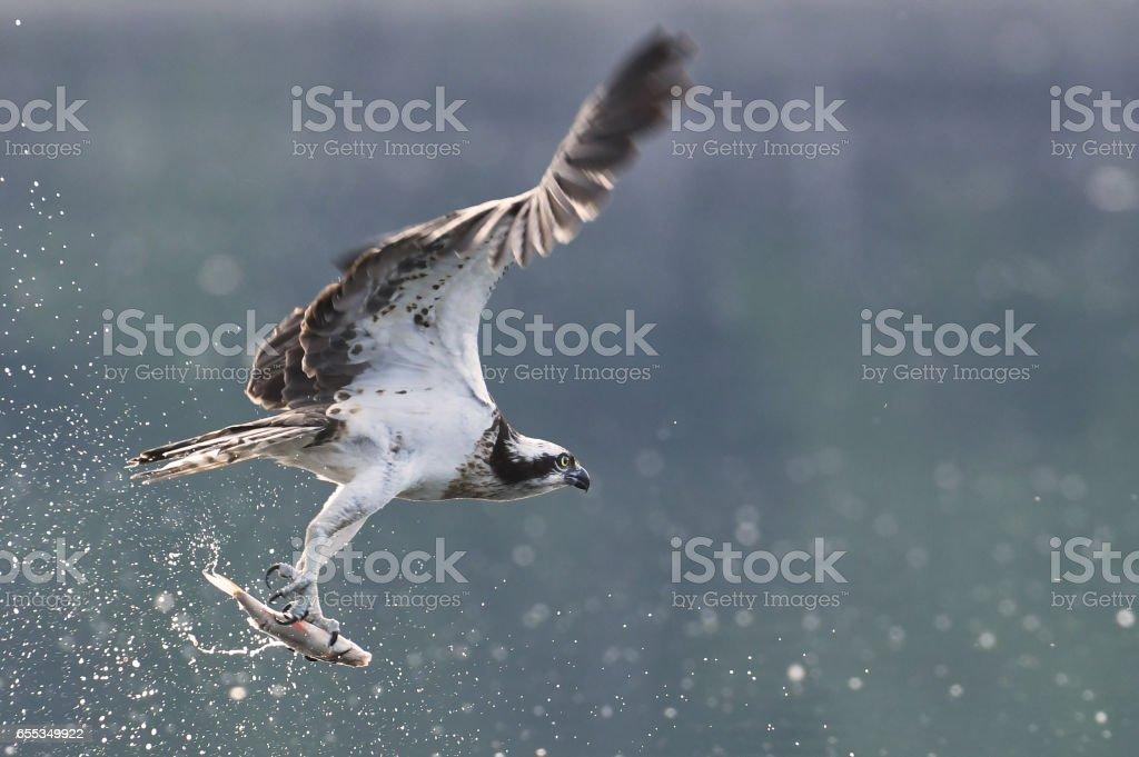 Osprey – Foto