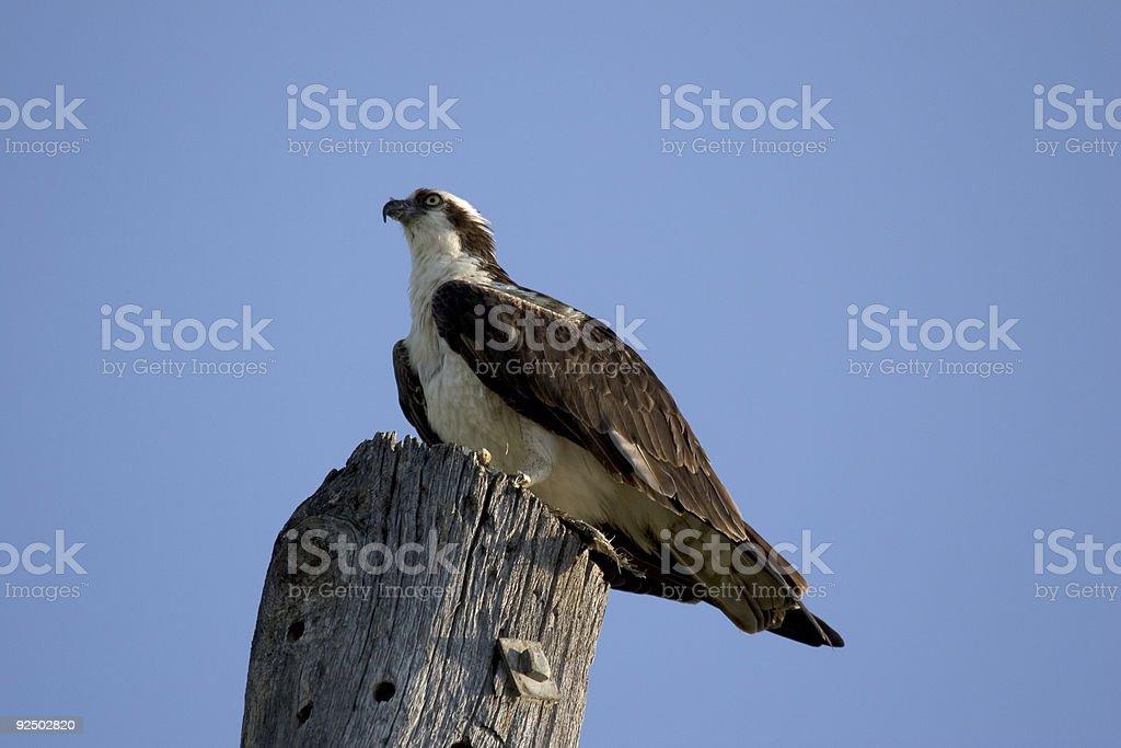 Osprey royalty-free stock photo