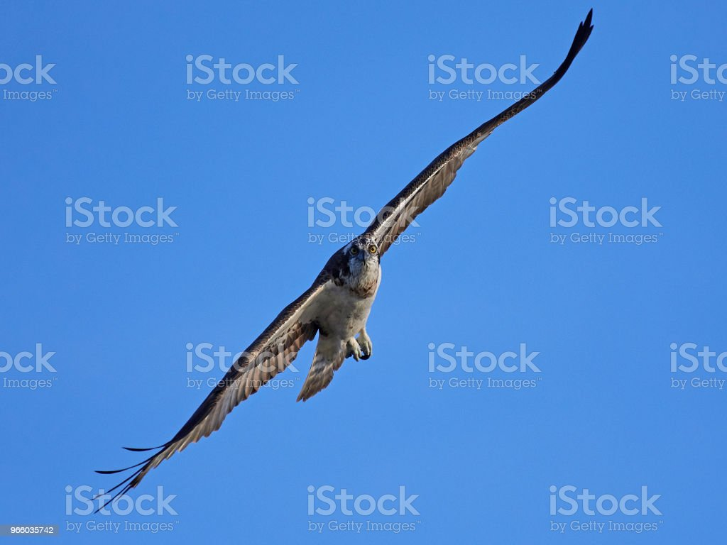 Osprey (Pandion haliaetus) - Royalty-free Animal Stock Photo