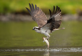 An osprey in Southern Florida