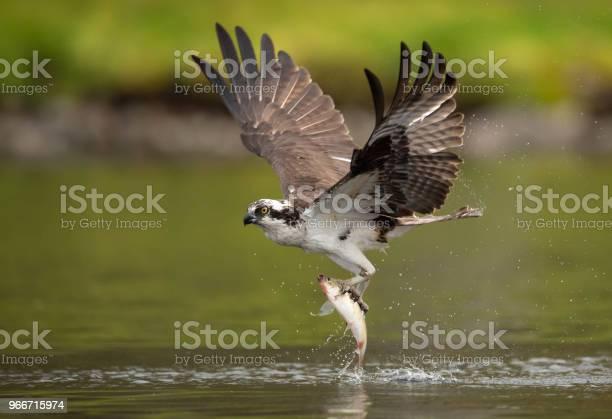 Osprey picture id966715974?b=1&k=6&m=966715974&s=612x612&h=c9hqpcp3icn uuz06y 57gqm5pg6uk2kslqfegw5w7o=