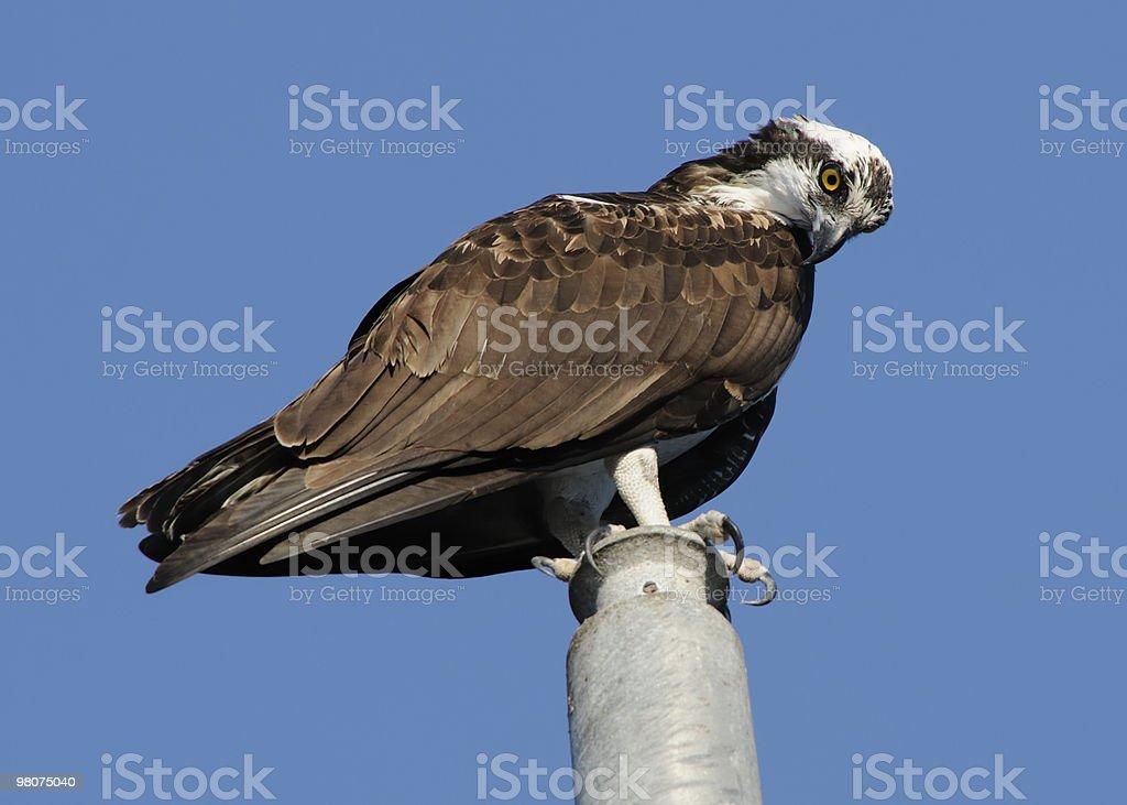 Falco pescatore foto stock royalty-free