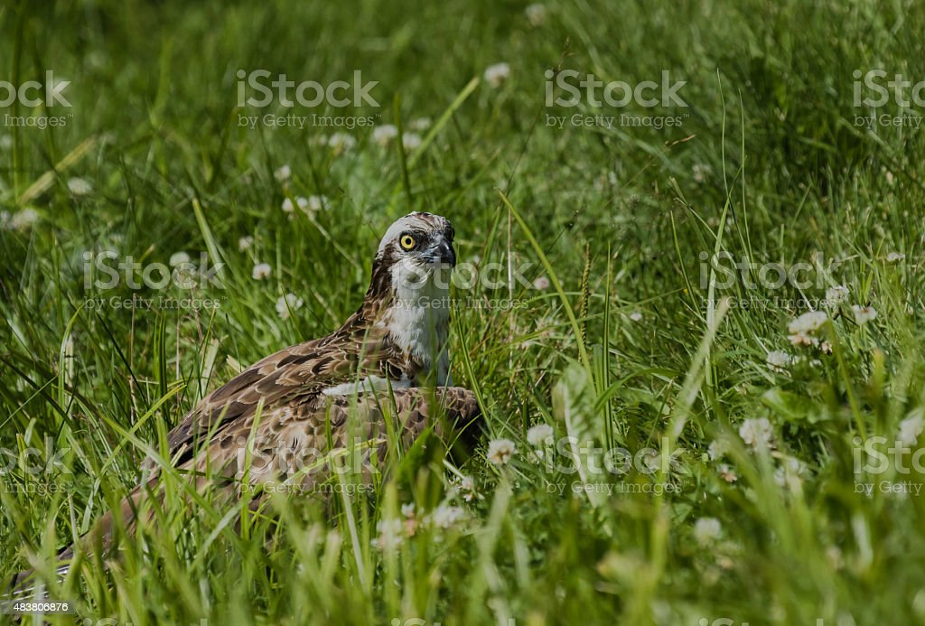 Osprey resting in ground stock photo