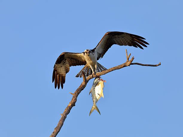 Fischadler, Sea Hawk mit Fisch und offenen Flügeln – Foto
