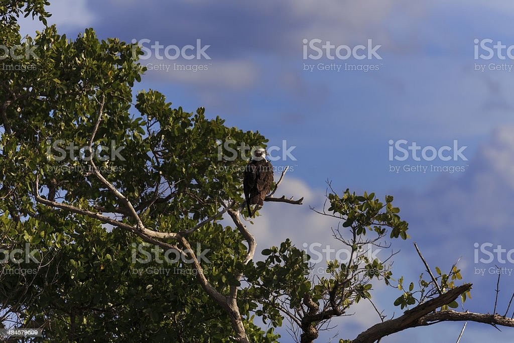Osprey waiting for its mate stock photo