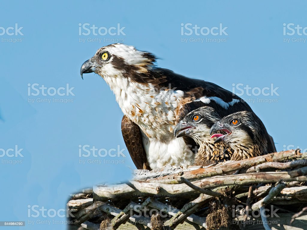 Osprey with Chicks stock photo