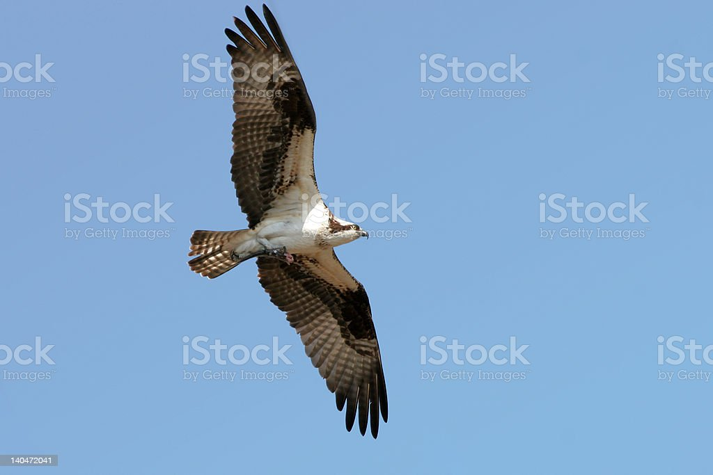 Osprey With Fish royalty-free stock photo