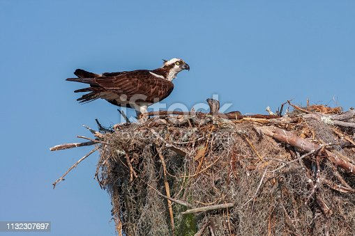 Osprey with Hungry Chick in Nest with Clear Blue Sky Background
