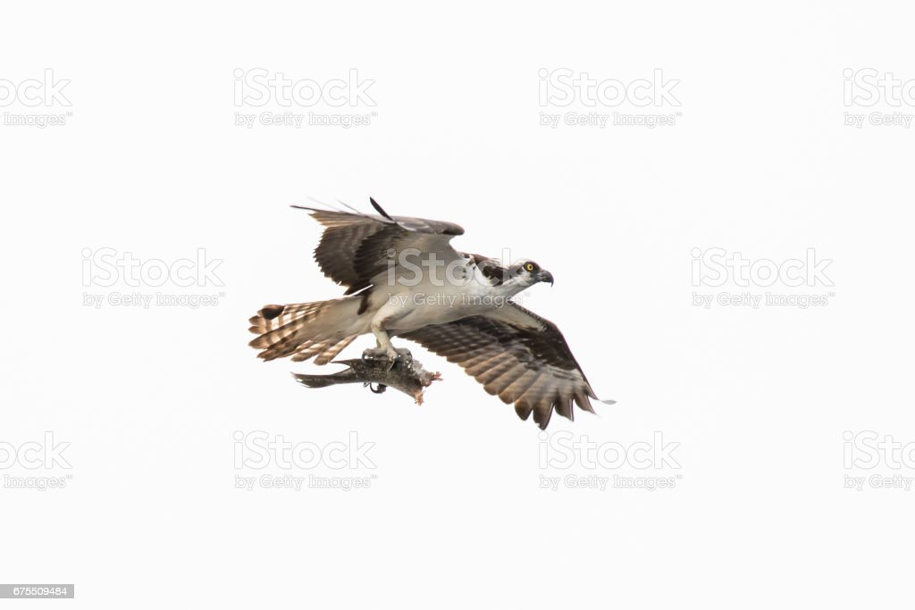 Osprey With It's Lunch photo libre de droits