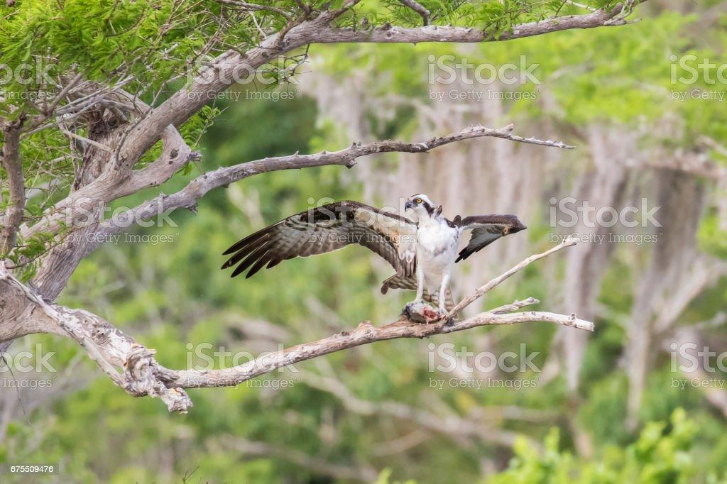 Osprey With Lunch photo libre de droits