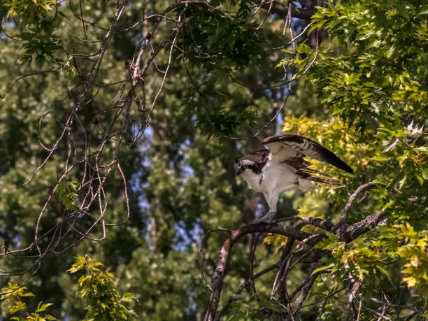 Osprey with wings raised, taking off with copy space stock photo