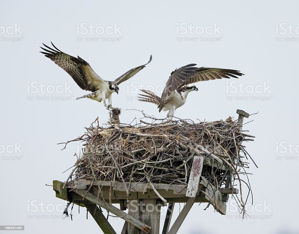 Ospreys building their nest, Jamaica Bay, Queens, NY stock photo