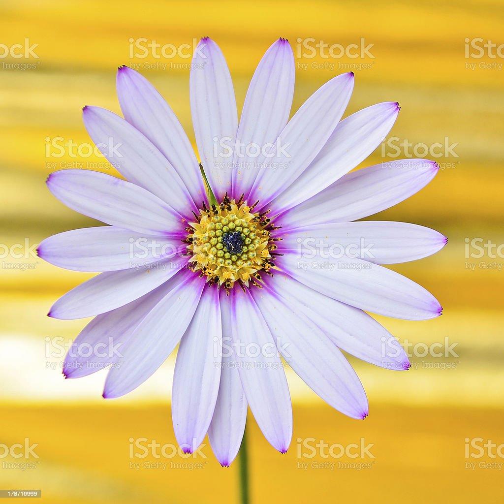 Osteospermum Daisy flower royalty-free stock photo