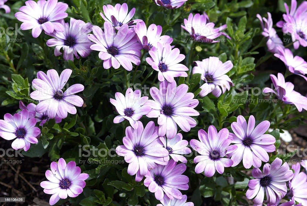 Osteospermum ecklonis flowers stock photo