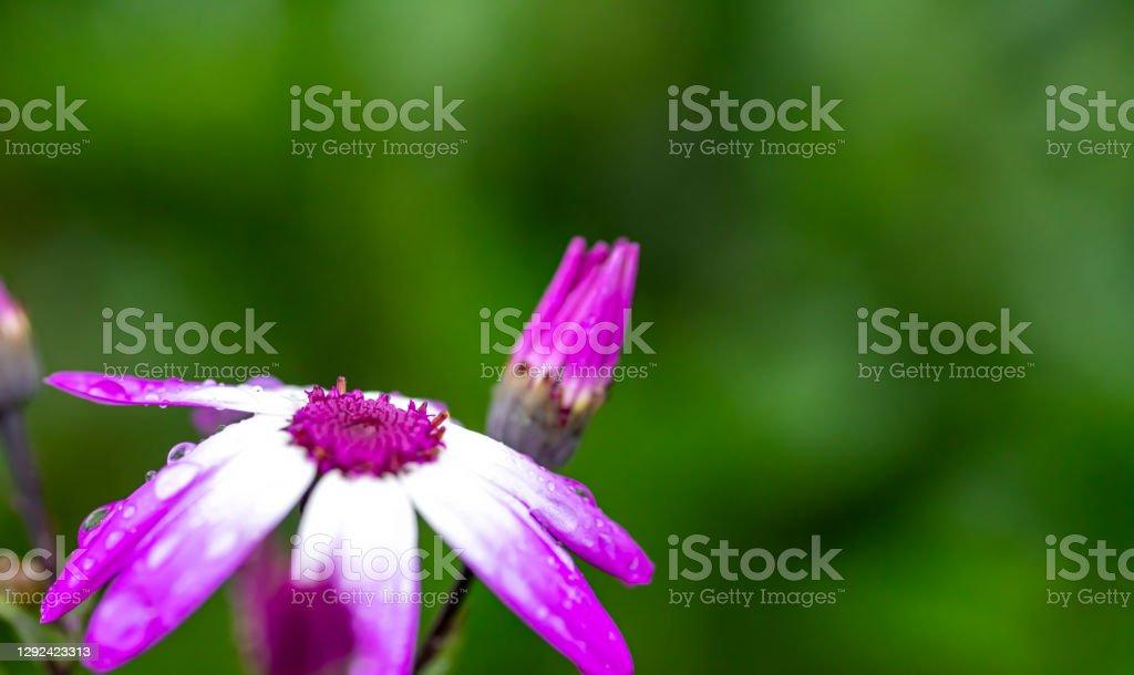 Osteospermum flower Variegated Osteospermum flower after a rain shower. Beauty Stock Photo