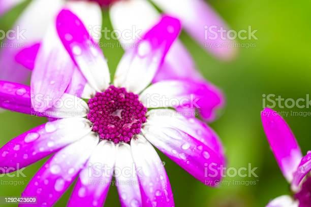Osteospermum Flower Stock Photo - Download Image Now